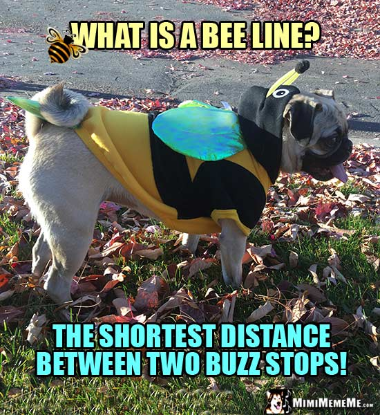 Pug Dressed in Bee Costume Joke: What is a bee line? The shortest distance between two buzz stops!