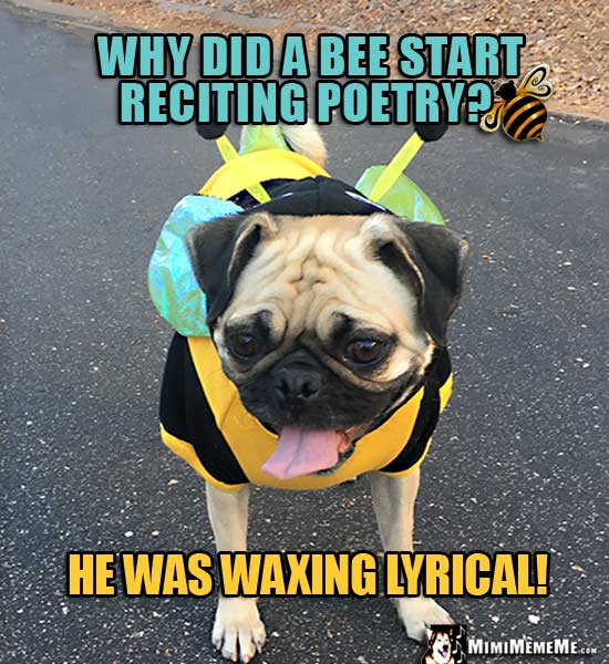 Pug in Bee Outfit Asks: Why did a bee start reciting poetry? He was waxing lyrical!