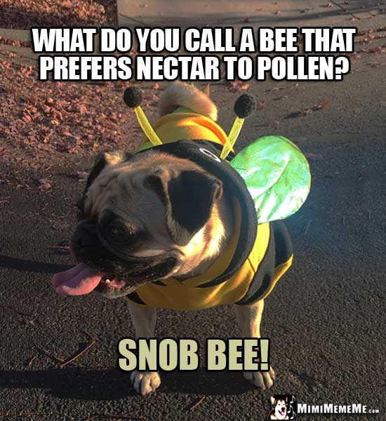 Pug Wearing Bee Costume Riddle: What do you call a bee that prefers nectar to pollen? Snob Bee!