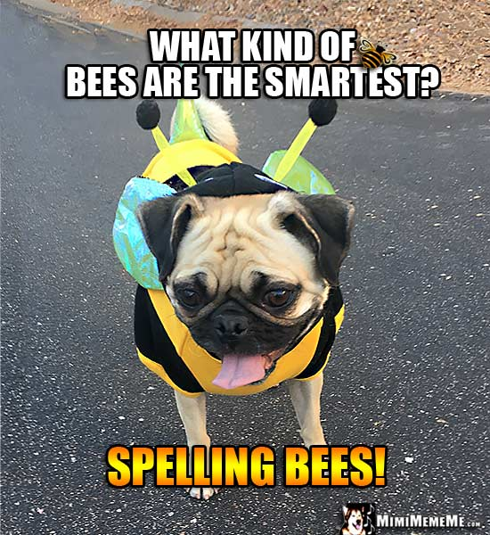 Pug Wearing Bee Costume Asks: What kind of bees are the smartest? Spelling Bees!