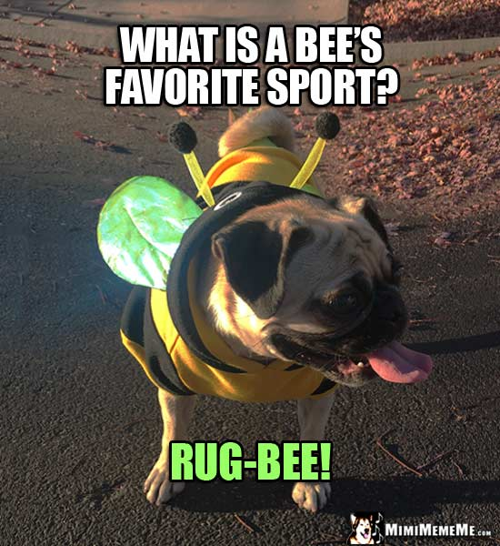 Pug Dressed Like a Bee Asks: What is a bee's favorite sport? Rug-bee!