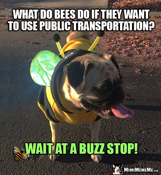 Pug in Bee Costume: What do bees do if they want to use public transportation? Wait at a buzz stop!