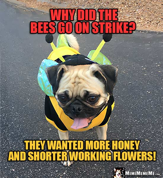 Pug in Bee Outfit Asks: Why did the bees go on strike? They wanted more honey and shorter working flowers!