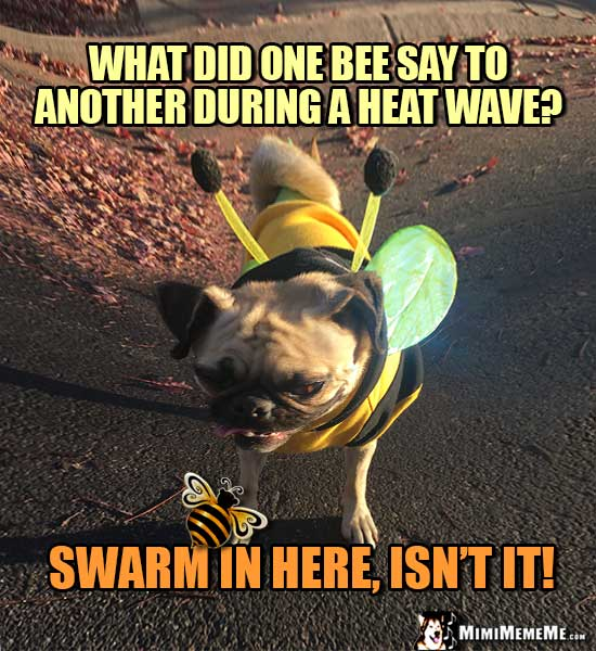 Pug in Bee Costume: What did one bee say to another during a heat wave? Swarm in here, isn't it!