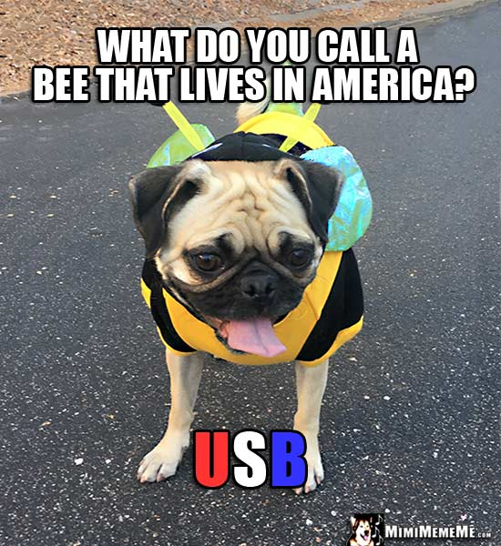 Pug in Bee Outfit Asks: What do you call a bee that lives in America? USB