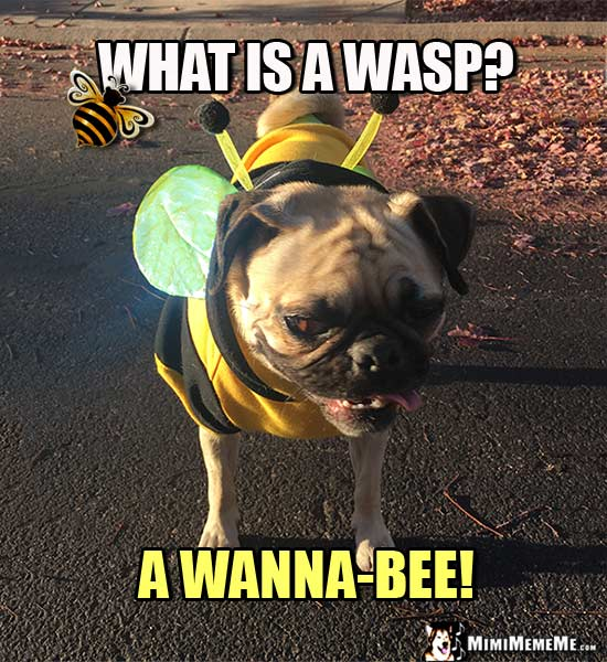 Pug Dressed as a Bee Asks: What is a wasp? A Wanna-Bee!