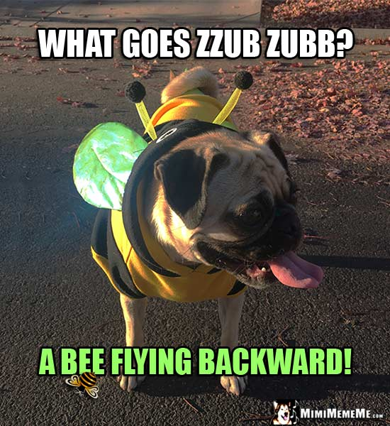 Pug Wearing Bee Costume: What goes zzub zubb? A bee flying backward!