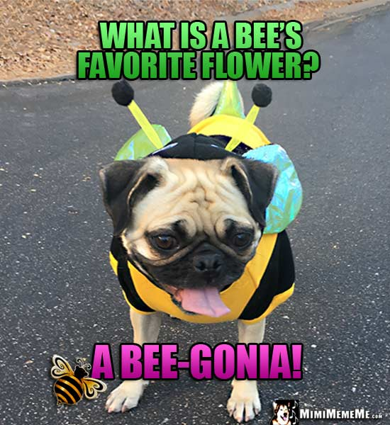 Pug in Bee Costume Asks: What is a bee's favorite flower? A bee-gonia!