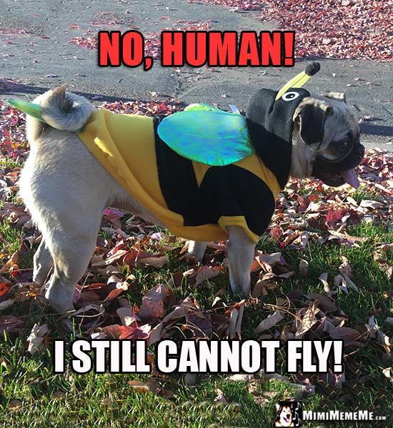 Pug in Bee Costume Says: No, Human! I still cannot fly!