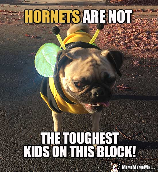 Pug in Bee Costume Says: Hornets are not the toughest kids on this block!